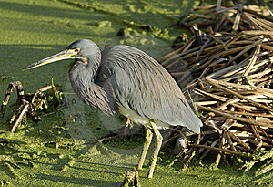 A Great Blue Heron Royalty Free Stock Image - Image: 8464166