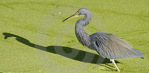 A Blue Heron Royalty Free Stock Photo - Image: 8464205