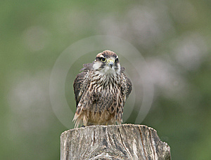 Lanner Falcon Stock Images - Image: 8465244