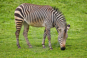 Zebra Royalty Free Stock Image - Image: 8465606