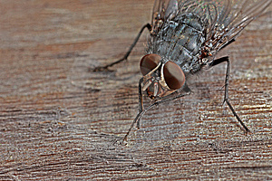 Closeup Of Fly On Wood Royalty Free Stock Image - Image: 8465906