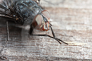 Extreme Closeup Of Fly Royalty Free Stock Photos - Image: 8465908