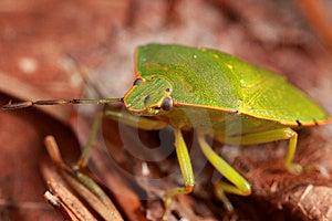 Sting Bug Royalty Free Stock Photos - Image: 8465978