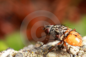 Wingless Fly Stock Photo - Image: 8465980