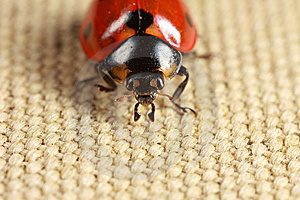 Front View Of Ladybug Royalty Free Stock Photography - Image: 8466437