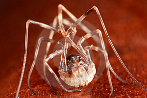 Harvestman On Leaf Royalty Free Stock Photos - Image: 8466508