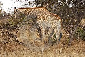 Giraffe Browsing Royalty Free Stock Photo - Image: 8466925