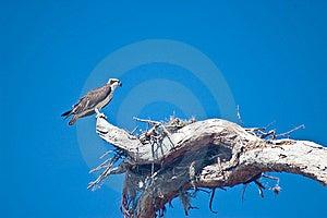 Nesting Female Osprey Royalty Free Stock Photo - Image: 8467035