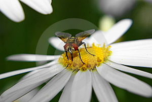 Fly On Marguerite Royalty Free Stock Photography - Image: 8467277
