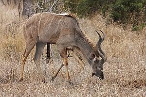 Kudu Bull Grazing Royalty Free Stock Image - Image: 8467286