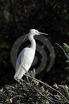 White Egret Stock Photo - Image: 8467390