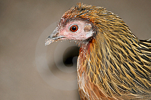 Pheasant Stock Photography - Image: 8467512