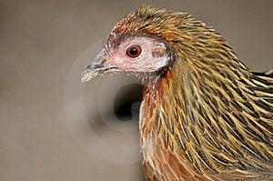 Pheasant Arkivbild - Bild: 8467512