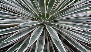 Agave Royalty Free Stock Images