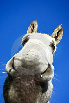 White Donkey Royalty Free Stock Image - Image: 8469476