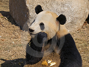 Panda Making A Mess Stock Image - Image: 8472971