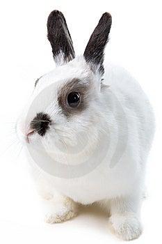 White Rabbit Royalty Free Stock Image - Image: 8473026