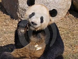 Panda Making A Mess 2 Royalty Free Stock Image - Image: 8473086