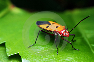 Shield Bug Royalty Free Stock Image - Image: 8474006