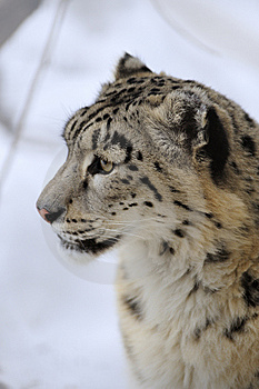 Snow Leopard Stock Images - Image: 8474364