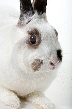 White Rabbit Royalty Free Stock Photos - Image: 8474548