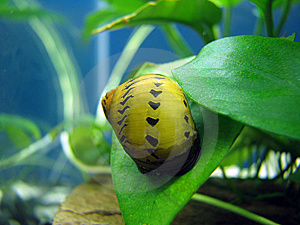 Tiger Snail Stock Photos - Image: 8474763