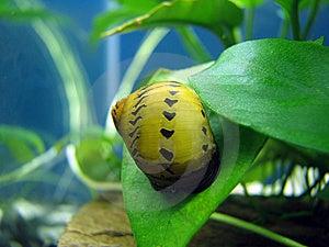 Tiger Snail Stock Photos - Image: 8474763