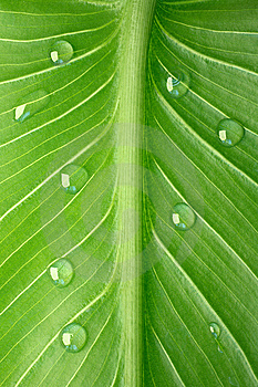Tropical Leaf With Dew Droplets Royalty Free Stock Photo - Image: 8474775