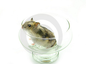 Hamster Stock Photography - Image: 8476422