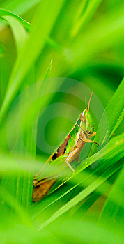 Grasshopper Royalty Free Stock Photography - Image: 8476427