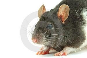 Rat Royalty Free Stock Photography - Image: 8476437