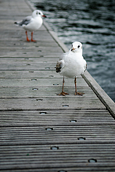 Gulls On A Footbridge Royalty Free Stock Photos - Image: 8477058