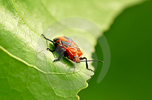 Red Bug Royalty Free Stock Image - Image: 8477236