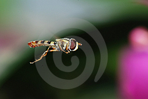 Fly Royalty Free Stock Photo - Image: 8477375