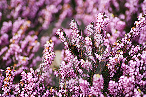 Pink Campanella Flowers Stock Image - Image: 8477801