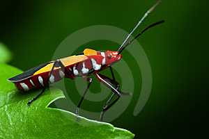 Shield Bug Stock Photo - Image: 8478490