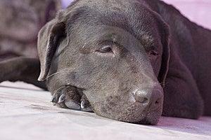 Labrador Stock Photo - Image: 8479030