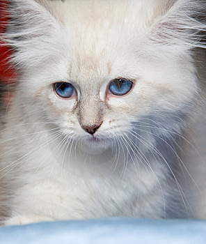 Siberian Kitten Royalty Free Stock Images - Image: 8479189