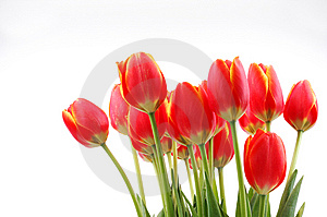 Tulips Stock Photo - Image: 8479470