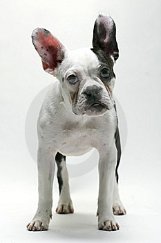 Puppy French Bulldog Royalty Free Stock Images - Image: 8480369