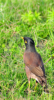 Common Myna Royalty Free Stock Photos - Image: 8481128
