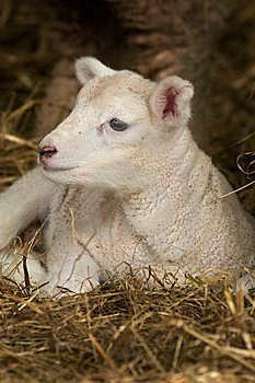 Baby Lamb Stock Images - Image: 8482004