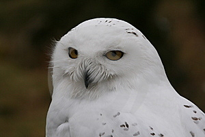 Snowy Owl Royalty Free Stock Images - Image: 8483919