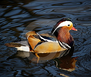 Magnificent Feather Of Mandarin Duck Royalty Free Stock Photo - Image: 8484425