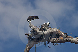 Two Ospreys With Their Nest Stock Image - Image: 8484501