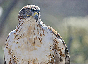 Ferruginous Hawk In Desert Royalty Free Stock Photos - Image: 8485638