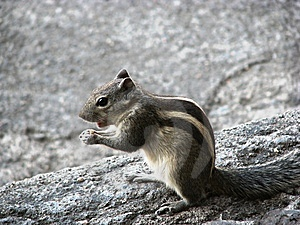 Squirrel Royalty Free Stock Image - Image: 8486146