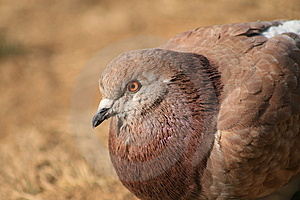 A Brown Pingeon Royalty Free Stock Images - Image: 8486539