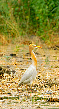 White Cattle Egret Stock Images - Image: 8487044
