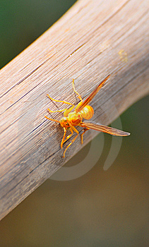 Yellow Wasp Stock Photo - Image: 8487160